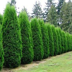 Holmstrup eastern arborvitae, a tidy, conical shrub is great for windbreaks, hedges, or for a pair framing a feature in your landscape.  Makes a great feature plant alone in a design as well!  Very densely branched, the beautiful soft fern like foliage makes quite a statement in any garden.
