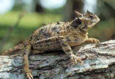 Texas State Reptile: Texas Horned Lizard