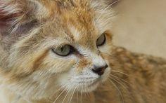 sand-cat-desktop-background