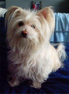 This is Maximus. A beautiful, cheeky, 4 year old Shih-Tzu/Chihauhua cross (ShiChi) Pomeranian Chihuahua Mix, Chihuahua Breeds, Chihuahua Love, Dog Breeds, Chihuahuas, Puppy Mix, Dog Mixes, Purebred Dogs, French Bulldog Puppies