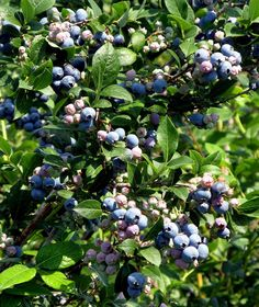 Many times, if a blueberry bush is not doing well in a home garden, it is the soil that is to blame. Learn more about the proper soil pH for blueberries in this article so your berries will be nice and healthy.