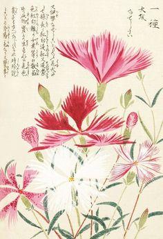 """Carnations"" Honzo Zufu [Illustrated manual of medicinal plants] by Kan'en Iwasaki (1786-1842). Wood block print and manuscript on paper. Japan, 1828 © The Trustees of the Royal Botanic Gardens, Kew"