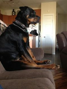 Does your Rottie sit like this too? Yes, Mark used to say he is sitting like a girl.