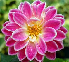 Beautiful and Colourful Single Flower Photographs Big Flowers, Amazing Flowers, Pretty Flowers, Colorful Flowers, Dahlia Flowers, Flowers Nature, Tropical Flowers, Spring Flowers, Pink Roses
