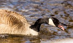 Canada Goose defending its territory ❖ Bernache du Canada défendant son territoire by Lucie Gagnon on 500px