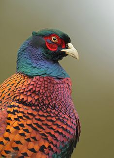 Cock Pheasant, by Neil Neville