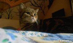 Ő egy brit cica