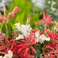 Pieris Forest Flame - partial shade, needs acidic soil, good for bees and butterflies Planting Shrubs, Garden Shrubs, Garden Plants, Japanese Pieris, Pieris Japonica, Evergreen Garden, Forest Garden, Colorful Garden, Trees And Shrubs
