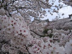 Sakura at Himeji Castle by makinasu, via Flickr