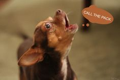 Incessant and fast-paced #barking at a medium #pitch- What Does Your Dog's Bark Mean?