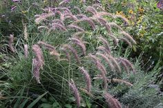 Pennisetum - Karley Rose Ornamental Grass