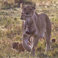 Lion mother with cub, Maasai Mara, Kenya Picture: Paul Goldstein / Exodus / Rex Features