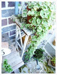 Kirjava maahumala--Clechoma hederacea variegatum