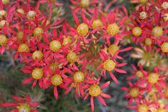 Leucadendron Cheeky   Leucadendron   Cheeky   Protea Plants