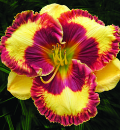 SPANISH MONA LISA---Pete Harry Daylilies... Daylilies Of Distinction