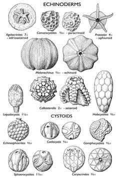 IL echinoderm fossils