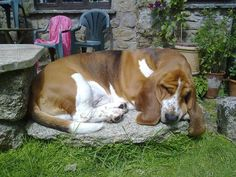 Bassets can sleep just about anywhere