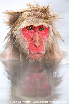 Japanese Macaque ((Macaca fuscata), Japan, Nagano Prefecture, Jigokudani Monkey Park. Photo by Jon Cornforth. ☀
