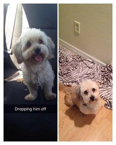 Found Dog - Maltese - Lauderhill, FL, United States