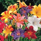 "Dwarf Daylilies Light: Full sun to partial shade Height: 12-18"" Bloom Time: Mid to late summer Size: Bareroot Zones: 3 to 9"