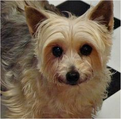 Meet our doggies here, and hopefully find your new bestie. Everyone is desexed, chipped, vaccinated, heartworm + intestinal worm + flea treated. Doggies, Dogs And Puppies, Fleas, Yorkie, Pet Adoption, Pretty Girls, Besties, Pictures, Animals