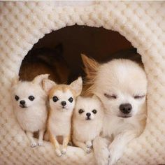 Mama Chi and her three tiny adorable pups.