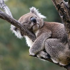 "koala ""Hug-a-Tree Day"" by Mary Broome Cute Funny Animals, Cute Baby Animals, Animals And Pets, Baby Panda Bears, Polar Bears, Australian Animals, Tier Fotos, Cute Animal Pictures, Animal Photography"