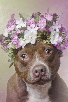 These pitbulls are wearing flower crowns for the best reason ever #Adopt #Lana