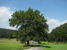 Ash Tree - Fraxinus excelsior - Fuinseóg