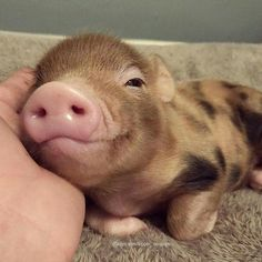 Miniature Pet Pigs – Why Are They Such Popular Pets? – Pets and Animals Cute Baby Pigs, Cute Piglets, Cute Babies, Baby Piglets, Cute Little Animals, Little Pigs, Cute Funny Animals, Funny Cats, Teacup Pigs