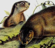 Woodchuck Groundhog Audubon Vintage Wild Animal Lithograph Natural History
