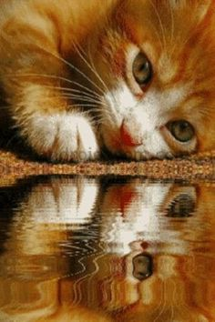 kitten water reflection