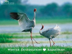 Perfect Winter Destination:  ❤️ Rajasthan Explore Keoladeo National Park. It is a UNESCO World Heritage, located in Bharatpur, Rajasthan. The park is home to hundreds of aquatic birds that are natives of Afghanistan, Turkmenistan, China, and Siberia. The park is paradise for bird watchers and wildlife photographers. #bird #birds #birdwatching #boutindia #wildlifetours #wildlifesafari #rajasthan #bharatpurbirdsanctuary #KeoladeoNationalPark #migratorybirds #UNESCOWorldHeritageSite