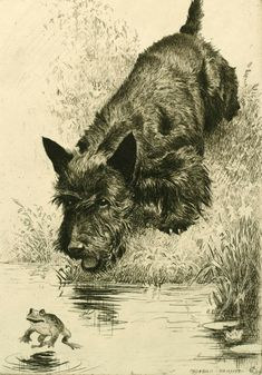 """"""", a Scottish Terrier chasing a frog by Morgan Dennis (American, """"Scram!"""", a Scottish Terrier chasing a frog by Morgan Dennis (American, Cairns, Vintage Dog, Dog Paintings, Dogs And Puppies, Doggies, Westies, Dachshunds, Terrier Dogs, Dog Portraits"""