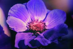 """""""Dark and Lovely"""" by Terry Davis #anemone #flower #purple #DeepColor #beautiful"""
