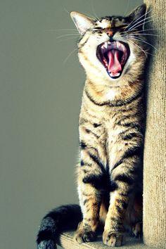 Tabby cat grey whiskers black yawn laugh smile speak sing life animal pet 4x6 photograph alabama white