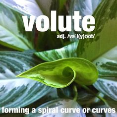 The new leaf first appears as a volute growth. #plant #green #garden #wordoftheday #dictionary
