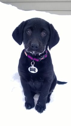 Pointer Lab Mix Puppies Puppy Westport Ct Labrador
