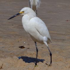 Um frequentador da Praia de Itaipu. Em Niterói. #photooftheday #picoftheday #shotoftheday #all_shots #bird #nature #natureza #naturaleza #trip #travel #traveling #travelling #beautiful #beach #praia #playa #blog #blogdeviagem #blogger #brasil #brazil #niteroi #itaipu #viagem #viajar