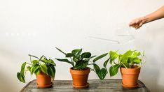 Rooted myy kauniita ja myös harvinaisia viherkasveja. Nettikaupastamme löydät esimerkiksi Philodendron, Monstera (peikonlehti) ja Hoya huonekasvit kotiin. Voit myös noutaa tilauksesi Lahdesta! Roots, Planter Pots