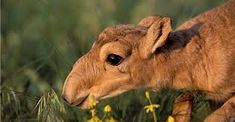 Junge Saiga-Antilop aus dem Mongolei