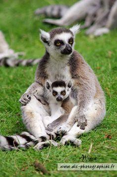 Maki Katta  - Une maman avec son petit au Parc Zoologique de Jurques - GEO communauté photo