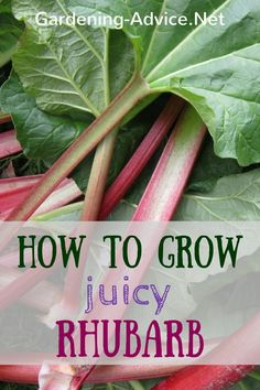 Growing Rhubarb is easy with these gardening tips. Learn about rhubarb plants…