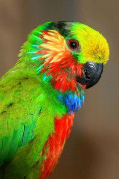 Edwards' Fig Parrot (Psittaculirostris edwardsii)