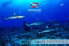 In spite of our years of experience, it is still impressive to swim with so many sharks.  www.topdive.com