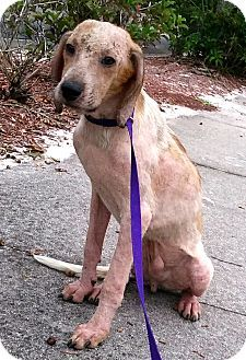 Ft Myers Beach, FL - Hound (Unknown Type) Mix. Meet I am a sad Puppy!!, a dog for adoption. http://www.adoptapet.com/pet/16979729-ft-myers-beach-florida-hound-unknown-type-mix