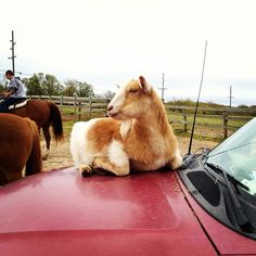 Montauk horse farm goat uses his owner's car as mountain and bed. Funny.