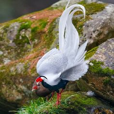 What a beautiful white feathered bird.  No doubt the male of the two.