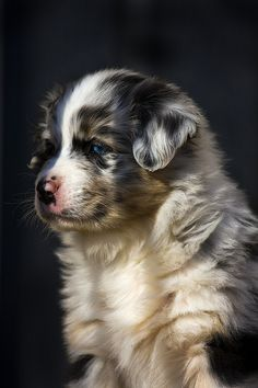 This puppy is so cute! I Want an Australian Shepard sooo bad!!