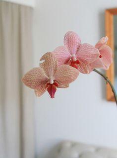 Orchid care   Gardenista